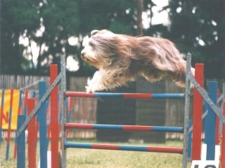 Les Bearded Collie de l'affixe Dream From Highland's