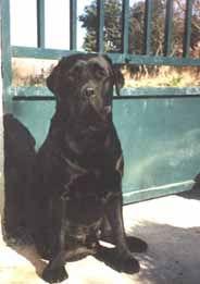 Les Labrador Retriever de l'affixe of Chelsea Garden