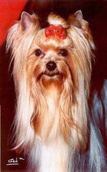 Les Yorkshire Terrier de l'affixe Du pave de varennes