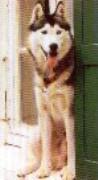Les Siberian Husky de l'affixe Des loups de la toundra