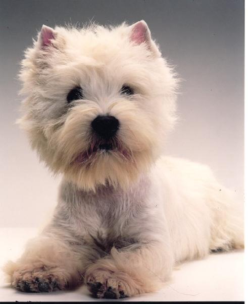 West Highland White Terrier - CH. Do not disturb de Champernoune