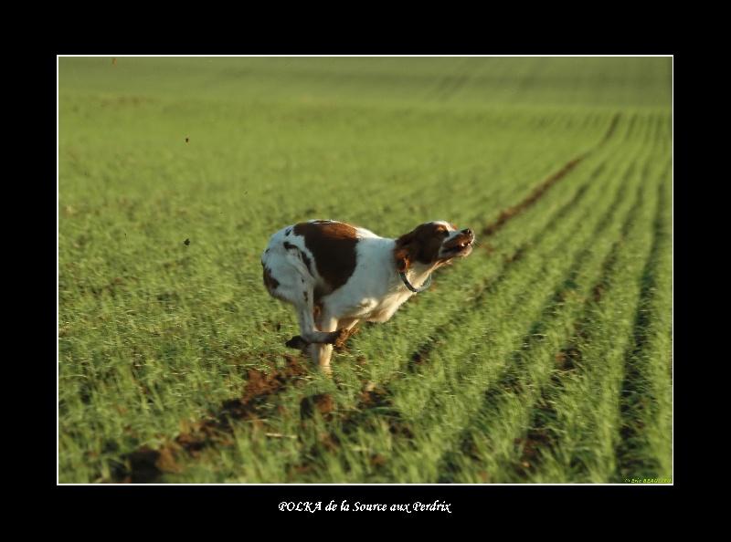 Les Epagneul Breton de l'affixe Des plaines dauxeenes
