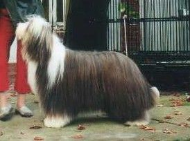 Les Bearded Collie de l'affixe Something Else