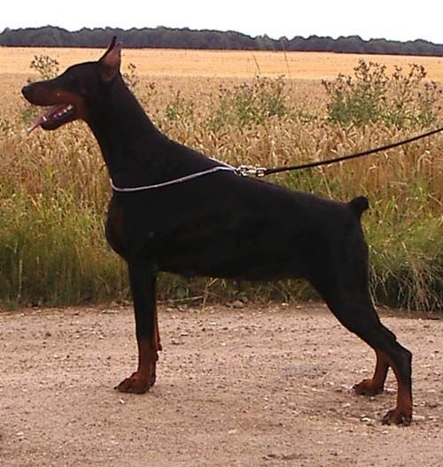 Les Dobermann de l'affixe Of devil inside