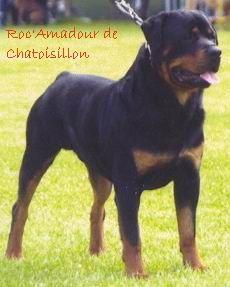 Les Rottweiler de l'affixe De chatoisillon