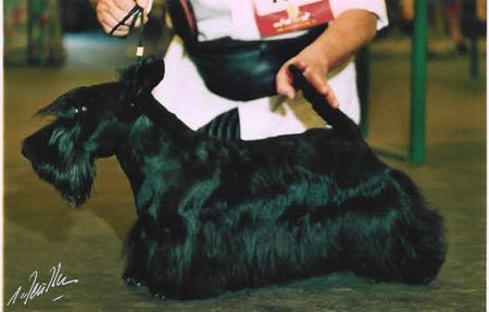 Scottish Terrier - CH. Theo Du domaine de montrose
