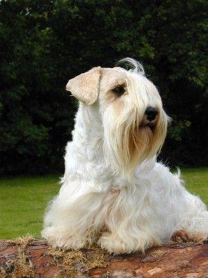 Sealyham Terrier - Enzo Vom ammelbruch