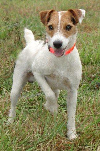 Les Jack Russell Terrier de l'affixe De la forge saint eloi