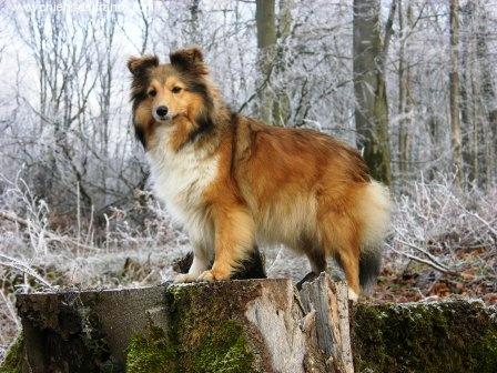 Les Shetland Sheepdog de l'affixe de la Fontaine D'Isis