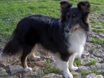 Les Shetland Sheepdog de l'affixe du grand bois de barbillon