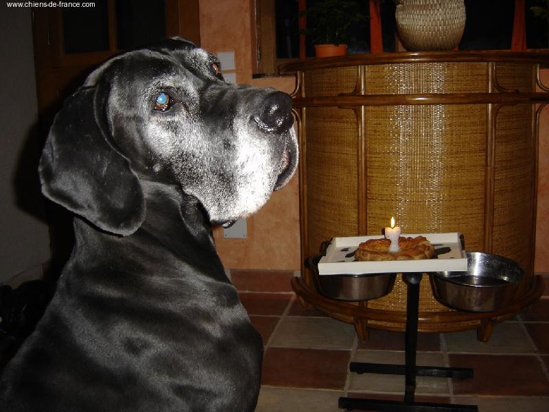 Dogue allemand - CH. Orphee Du val de l'amitié