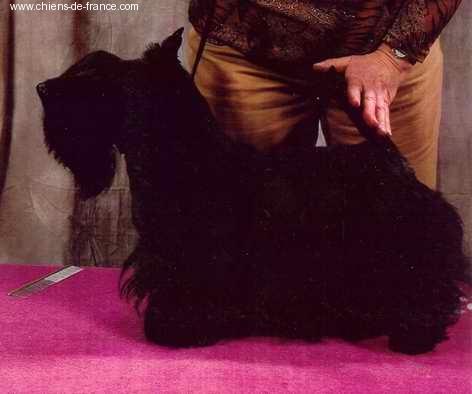 Les Scottish Terrier de l'affixe du manoir des presles