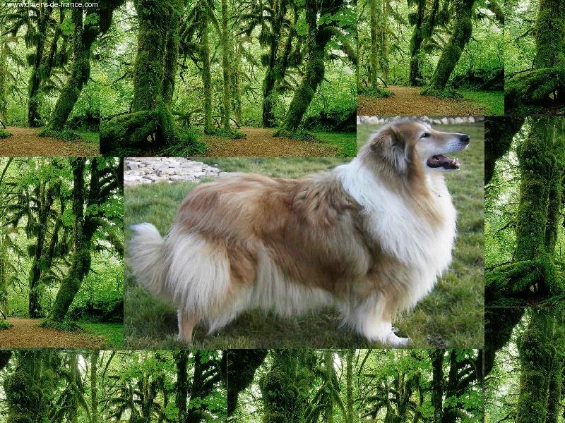 Les Colley à poil long de l'affixe du grand bois de barbillon