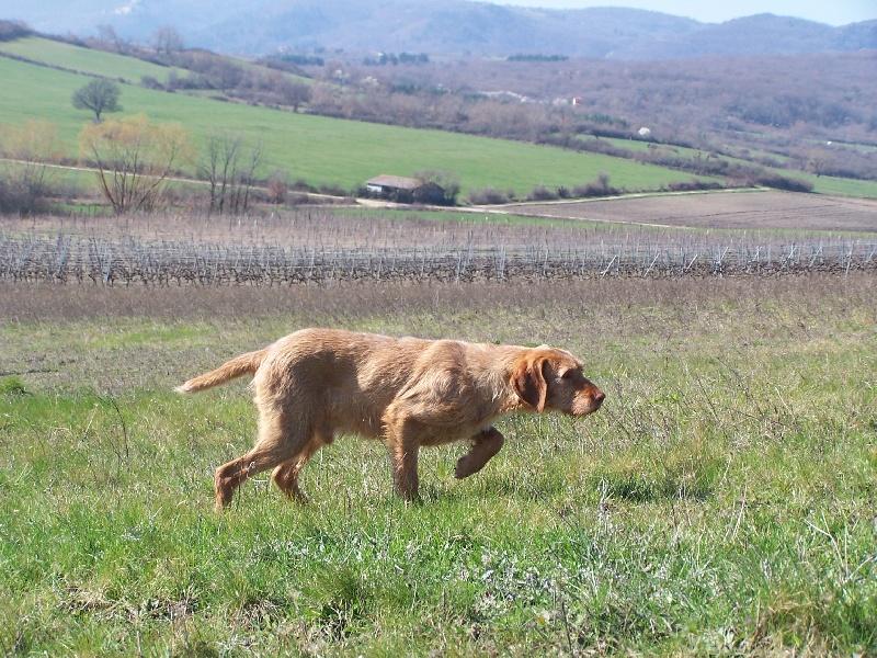 Les Braque hongrois à poil dur de l'affixe des Bois de la Fessille