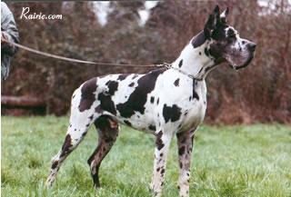 Dogue allemand - CH. Libero Des terres de la Rairie
