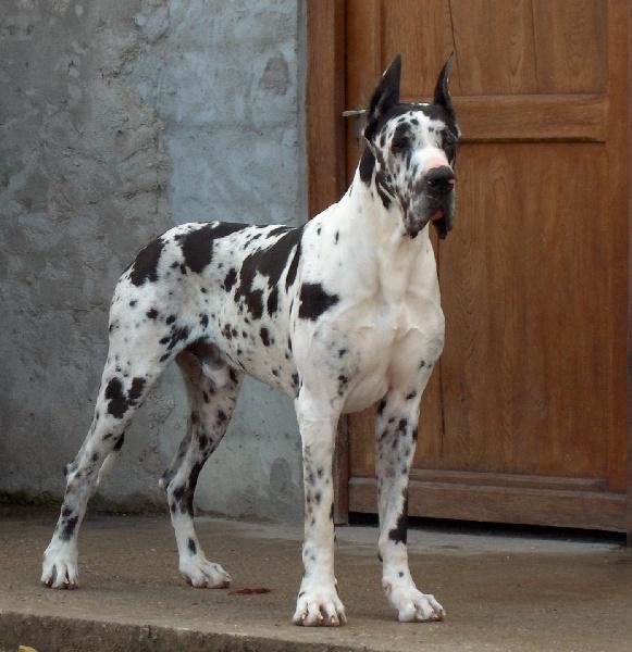 Les Dogue allemand de l'affixe du Petit Monterac