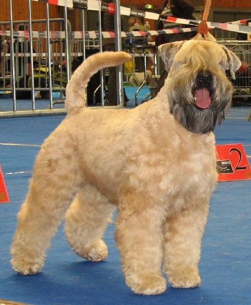 Les Irish Soft Coated Wheaten Terrier de l'affixe des Varennes Mystiques