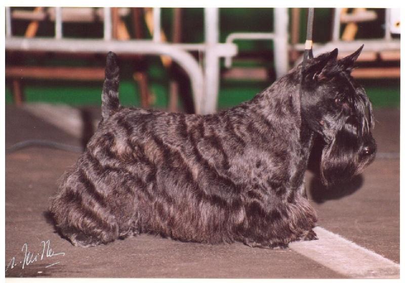 Les Scottish Terrier de l'affixe Verascott