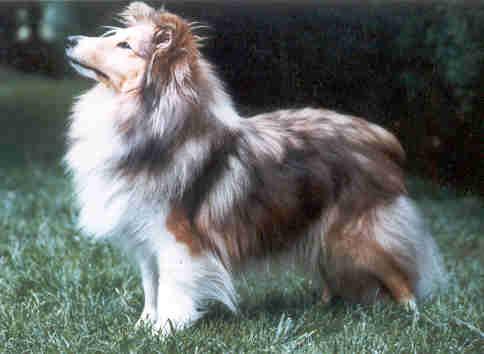 Les Shetland Sheepdog de l'affixe Blue witch