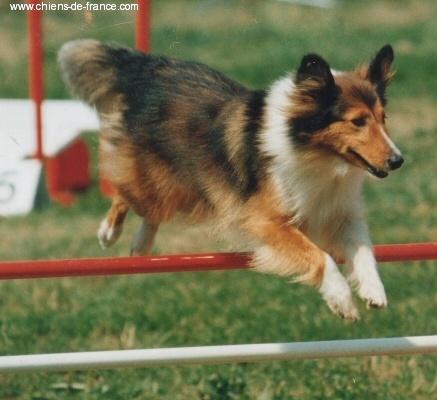 Les Shetland Sheepdog de l'affixe Du Grand Champ D' Aubertans