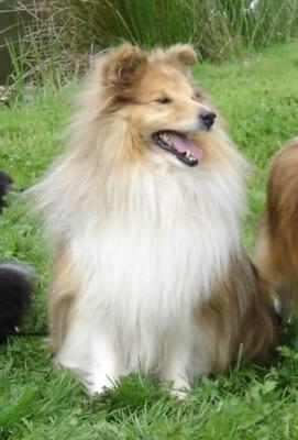 Les Shetland Sheepdog de l'affixe des Romarins de Mayerling