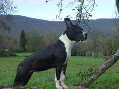 American Staffordshire Terrier - Venice of neo Des molosses des dombes
