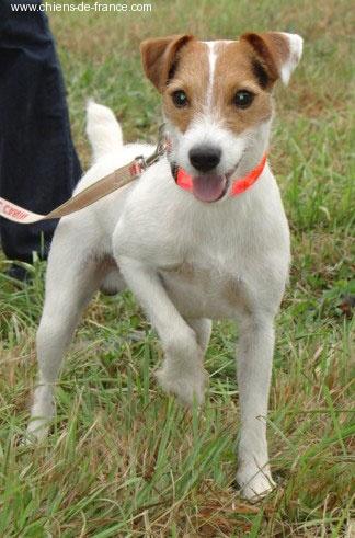 Les Parson Russell Terrier de l'affixe De la forge saint eloi