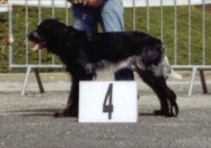 Le Standard de la race Epagneul bleu de Picardie sur Atara.com