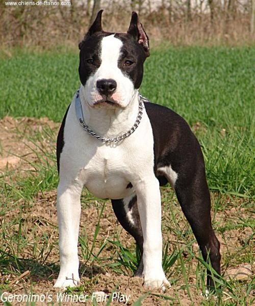 American Staffordshire Terrier - Géronimo's winner Fair play