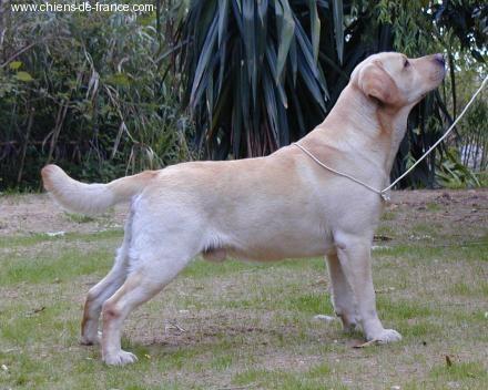 Labrador Retriever - CH. Word games Foxrush