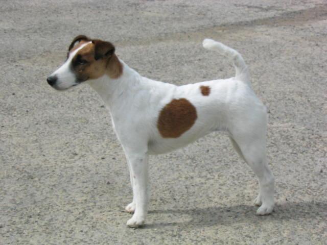Les Fox Terrier Poil lisse de l'affixe De camp remy