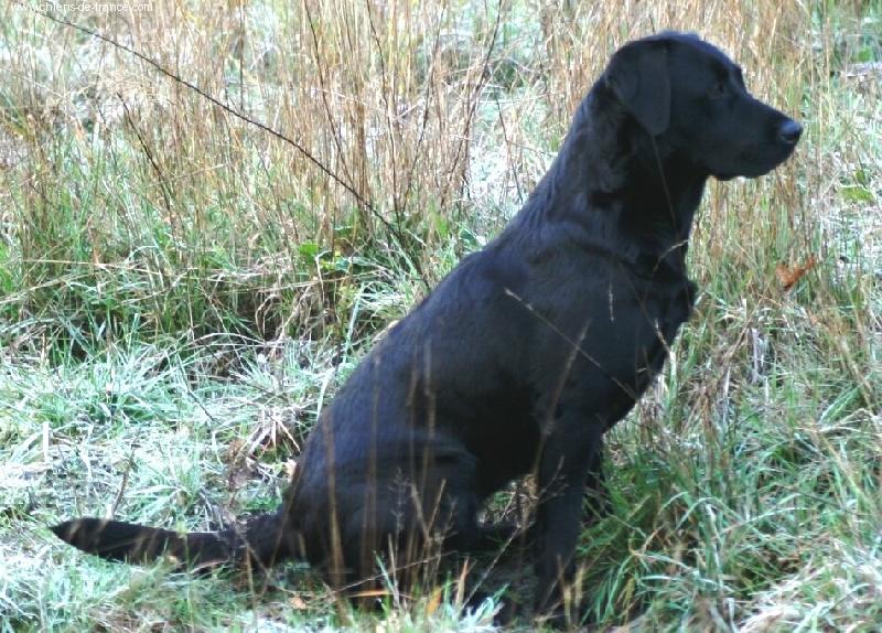 Les Labrador Retriever de l'affixe De la battue en landes