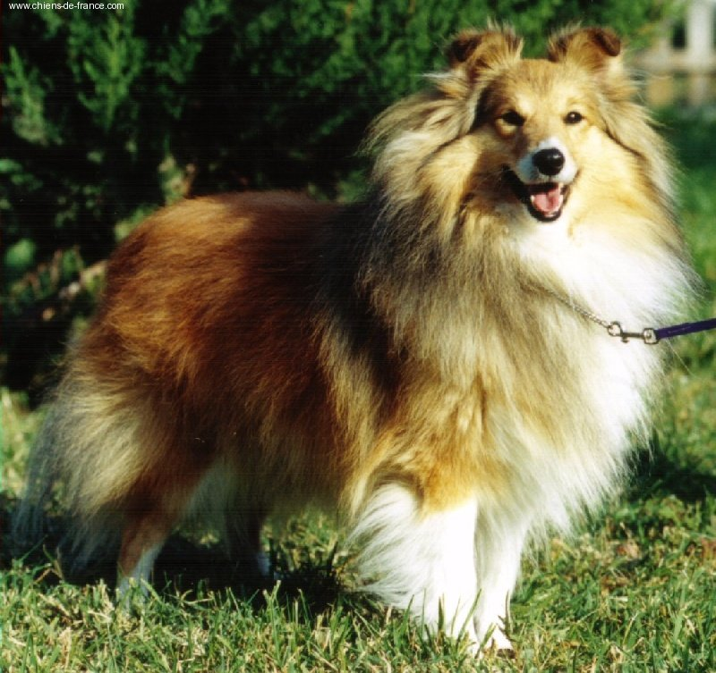 Les Shetland Sheepdog de l'affixe Des mille eclats des tournesol