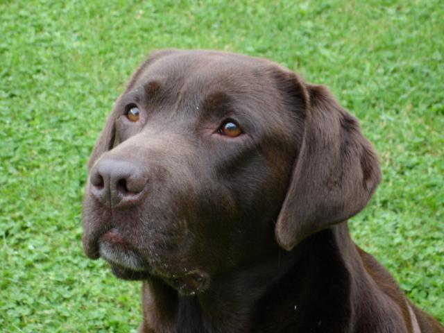 Les Labrador Retriever de l'affixe De planchevienne