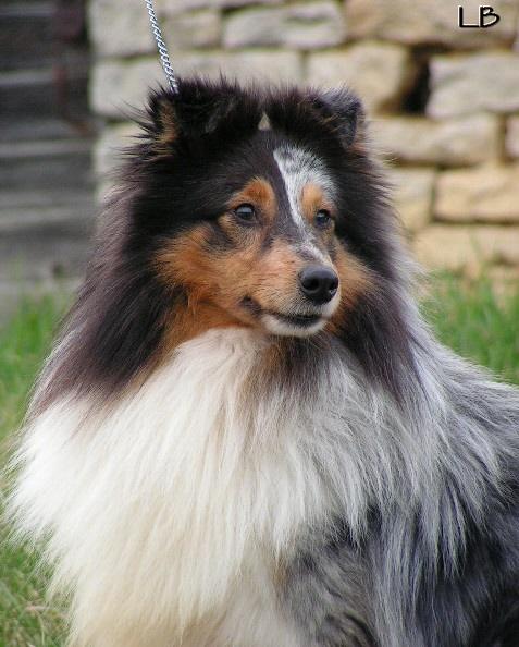 Les Shetland Sheepdog de l'affixe du Lorecé