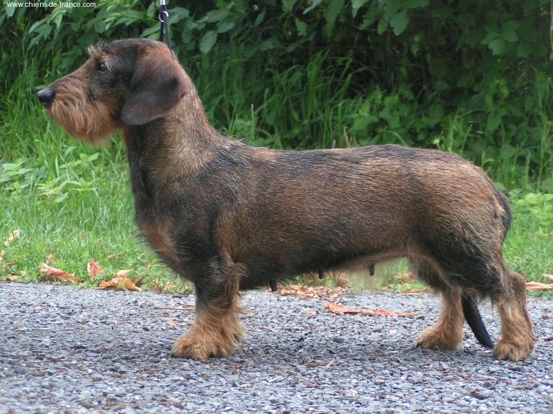 Chiot - Elevage du bassin des cas d'or - eleveur de chiens