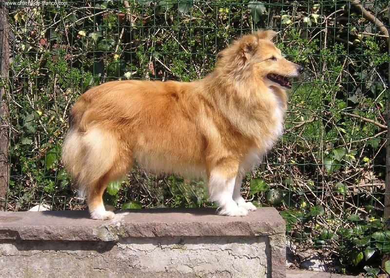 Shetland Sheepdog - New jersey blonde des Romarins de Mayerling