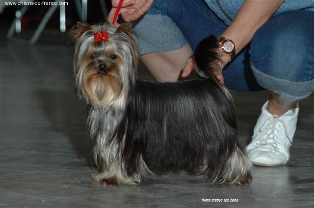 Le Standard de la race Yorkshire Terrier sur Atara.com