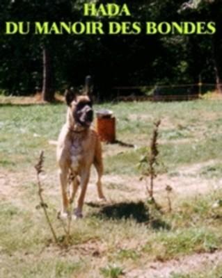 Les Dogue allemand de l'affixe de la Boutinais