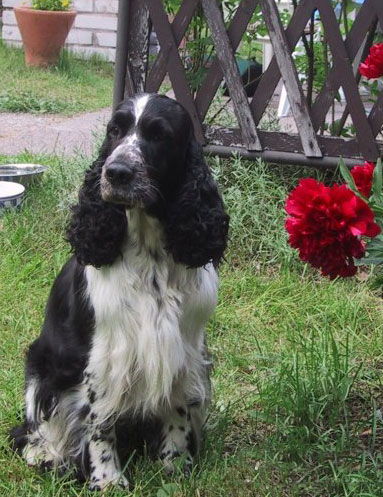 Les English Springer Spaniel de l'affixe Canouan