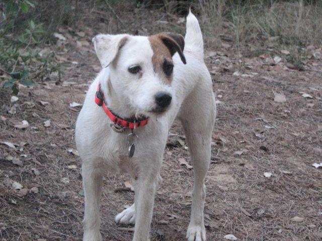 Les Parson Russell Terrier de l'affixe de la Forêt des p'tits loups