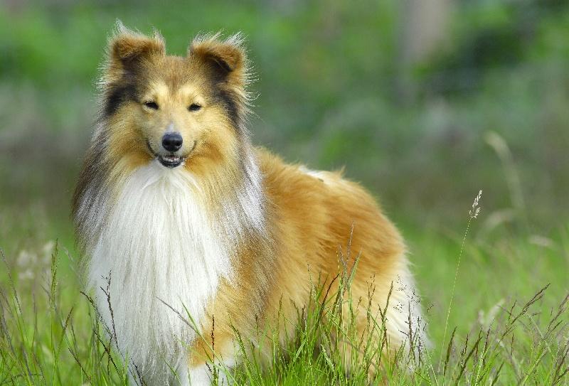 Les Shetland Sheepdog de l'affixe De goazilec