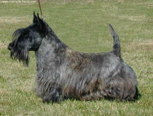 Les Scottish Terrier de l'affixe de Glenderry