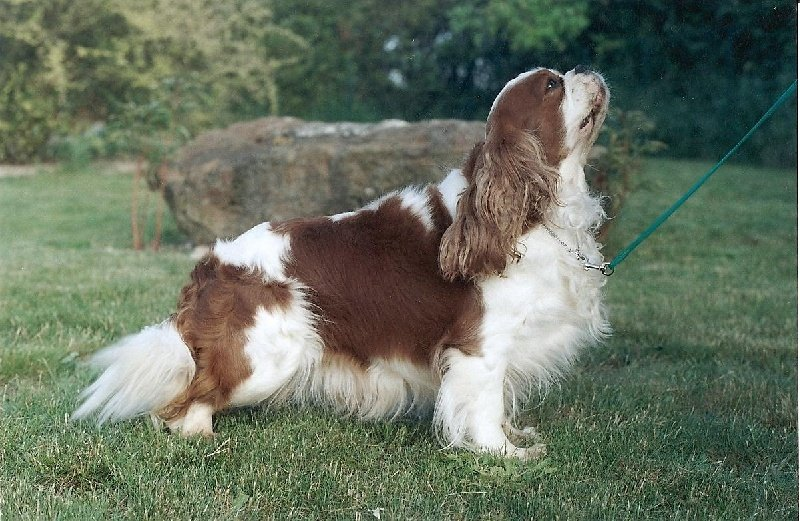 Cavalier King Charles Spaniel - Peggy Des marliviers