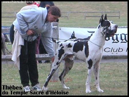 Dogue allemand - Thebes du Temple Sacré d'héloïse