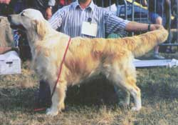 Golden Retriever - CH. Mabella james V.d beerse hoeve
