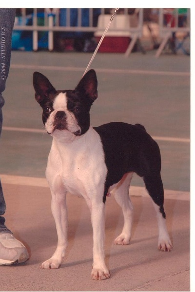Les Boston Terrier de l'affixe de Cat'Pat