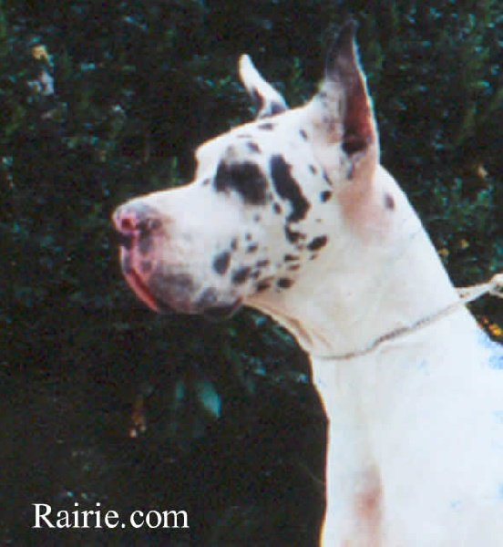 Dogue allemand - Nacre Des terres de la Rairie