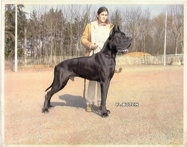 Dogue allemand - CH. Osiris Des terres de la Rairie