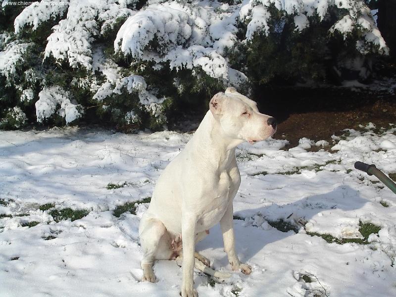 Les Dogo Argentino de l'affixe del senor vulco